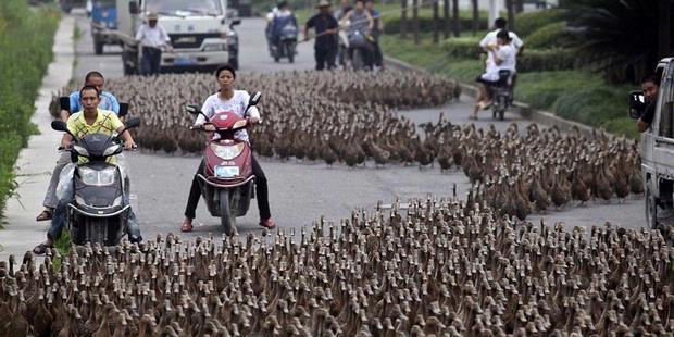 Ketika 5.000 Bebek Menguasai Jalan Raya [ www.BlogApaAja.com ]