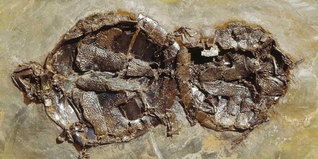 Fosil Ungkap Senggama Kura kura yang Terputus   UNIQUELO