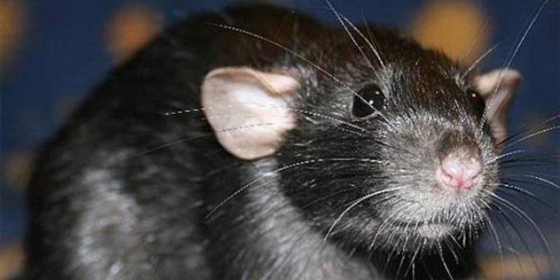 Ekuador Akan Bantai 180 Juta Tikus