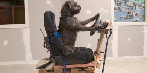 Anjing Hebat yang Bisa Mengemudi Mobil - raxterbloom.blogspot.com