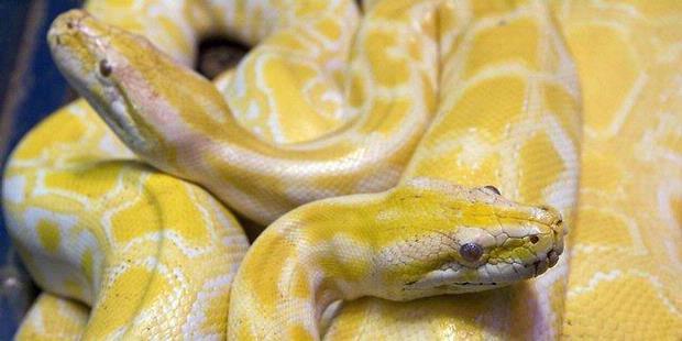 0832191 bayi dua tahun dililit ular 2 meter 620X310 Bayi Dua Tahun Dililit Ular 2 Meter