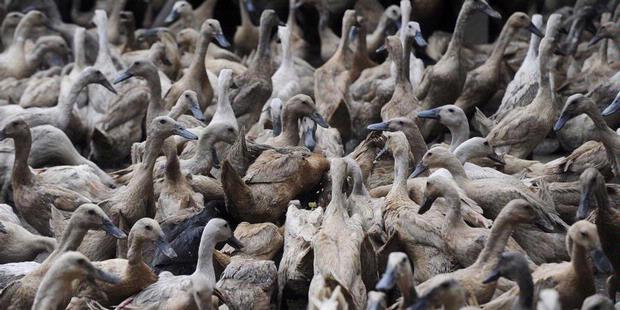 Flu Burung Menjangkit di Lima Kecamatan di Tasik