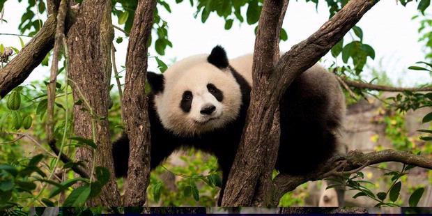 Korban Panda Nihil