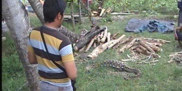 2241147-ular-makan-sapi-bone-620X310.jpg