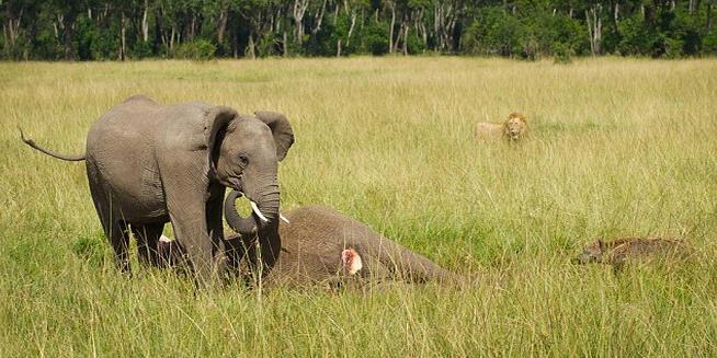 Anak Gajah Meratapi Kematian Induknya