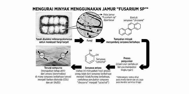 """Fungus """"Fusarium oxysporum"""", can break down contaminants Oil"""