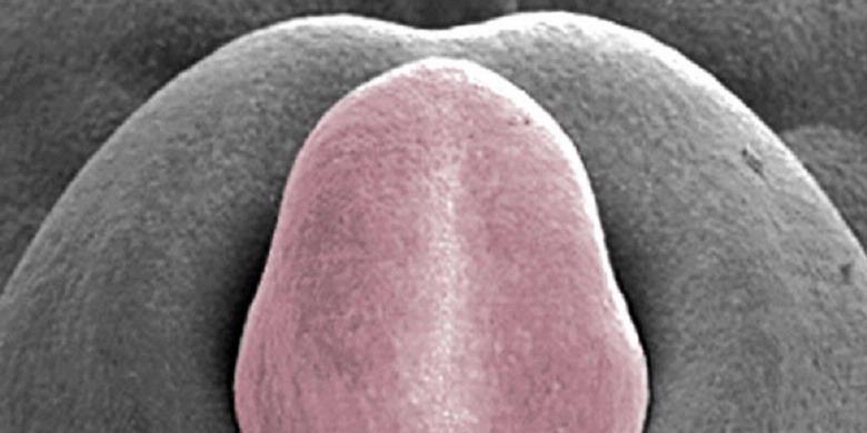 мужской член под микроскопом фото