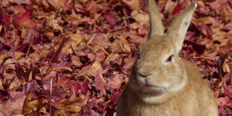 Seperti dikutip dari huffington post, awal kehadiran kelinci di pulau