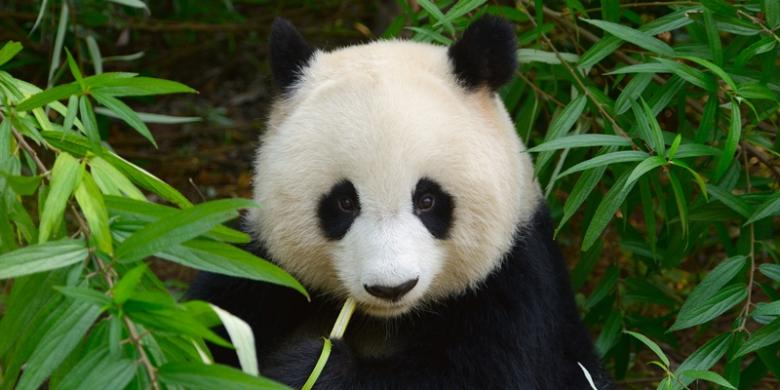 Seekor Panda Diduga Sedang Masturbasi Terekam Kamera Video