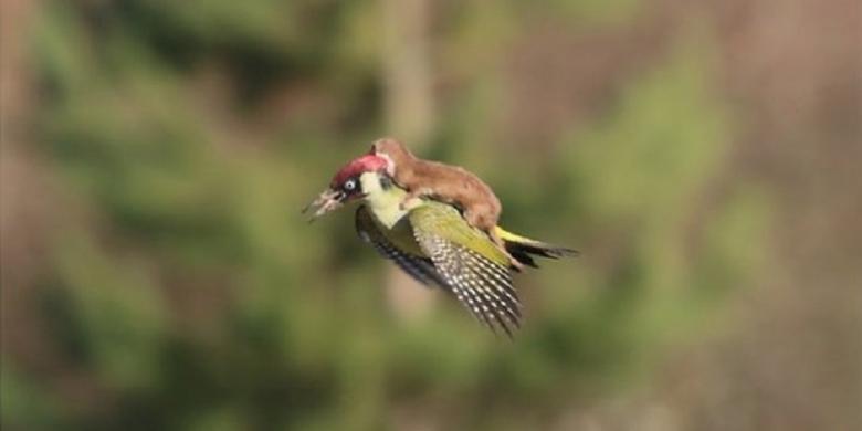 Seekor Musang Tertangkap Terbang Menunggang Burung Pelatuk