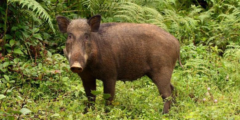 Habitat Longsor Babi Hutan Gunung Sumbing Berkeliaran Di