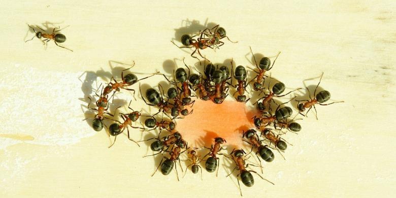 Jangan Sembarangan Konsumsi Semut Jepang untuk Diabetes