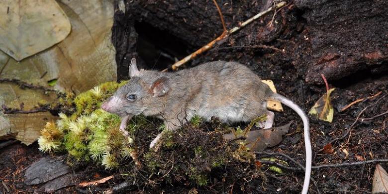 Ke Gandang Dewata, Ilmuwan Ungkap Adanya Tikus Berkumis