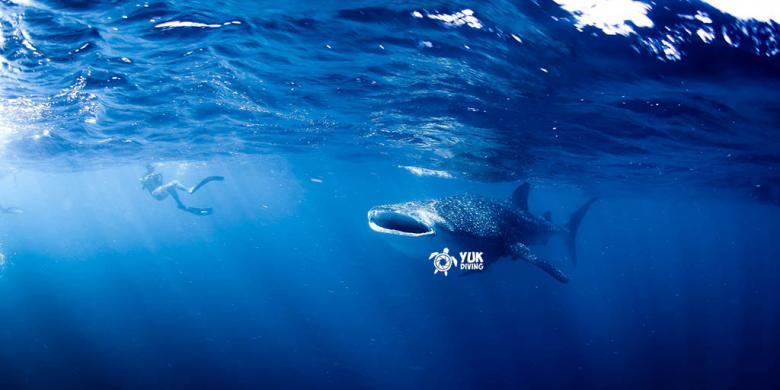 """""""Snorkeling"""" Bareng Hiu Paus Di Australia, Peraturannya Lebih Ketat"""