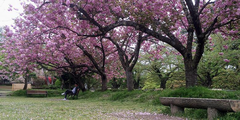 Catat, Waktu Terbaik Melihat Mekarnya Sakura Di Jepang