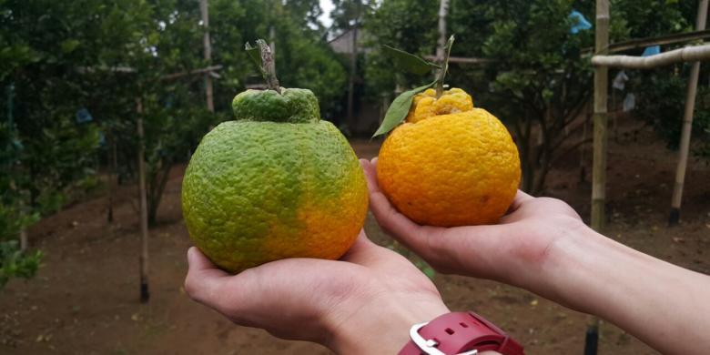 Yuk, Belanja Buah Langka Dan Durian Medan Di Fruit Dan Veggie Festival