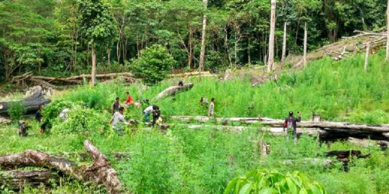 Polisi Temukan 9 Hektar Ladang Ganja di Aceh Besar
