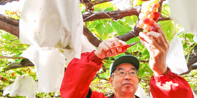 Menikmati Kebun Anggur Di Yamanashi Jepang
