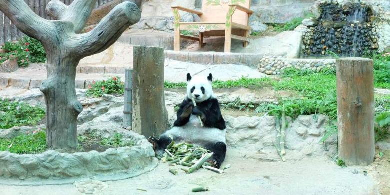 Lihat Panda Tak Perlu Jauh Ke China, Di Thailand Juga Ada