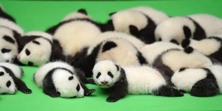 "Bikin Gemas, 23 Bayi Panda ""Unjuk Gigi"" Di Depan Turis"