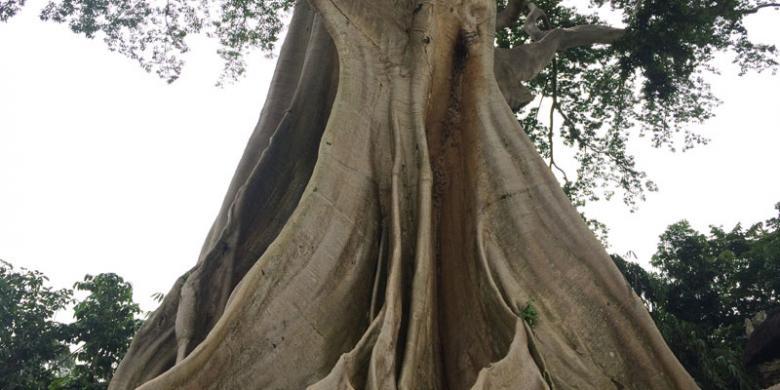 Di Bali, Ada Pohon Beringin Berusia Lebih Dari 500 Tahun