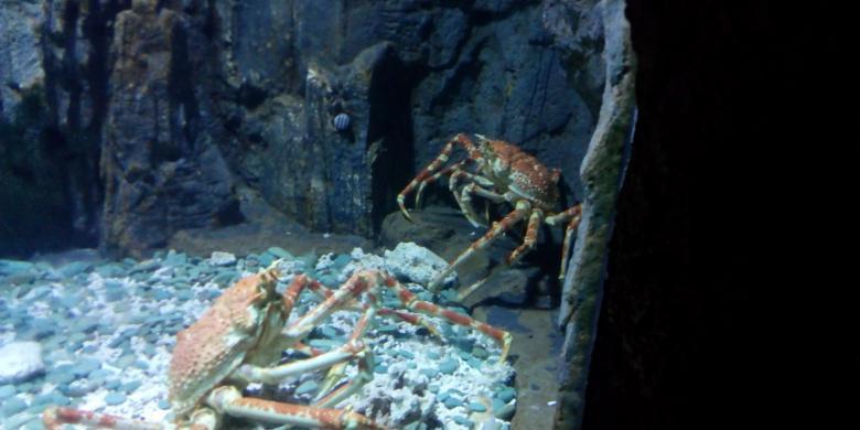 "Tahun Baru… ""Monster"" Laba-laba Laut Dan Ikan Nanas Asal Jepang Muncul Di Jakarta!"