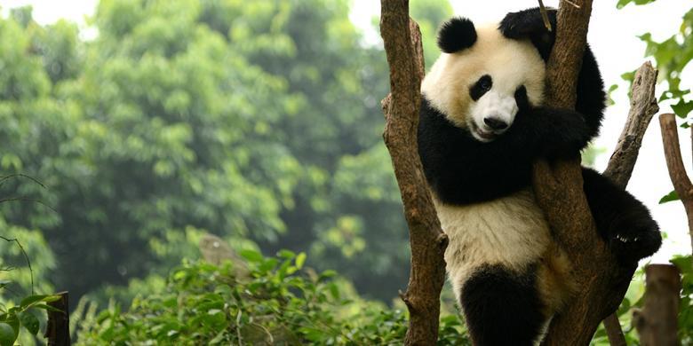 Chengdu, Rumah Panda China Dengan Banyak Cerita