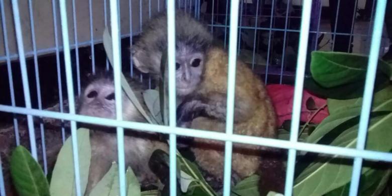 """BKSDA Jawa Timur Amankan 3 Lutung Jawa yang Dijual via """"Online"""""""