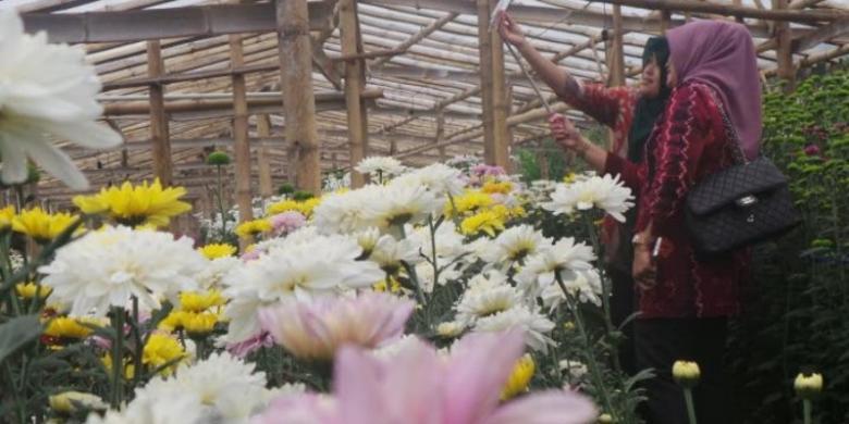"""Akhir Pekan Di Semarang, """"Selfie"""" Di Tengah Kebun Bunga Krisan"""