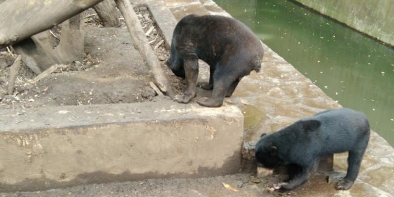 LSM Scorpion Bantah Rekayasa Video Investigasi Beruang Kelaparan
