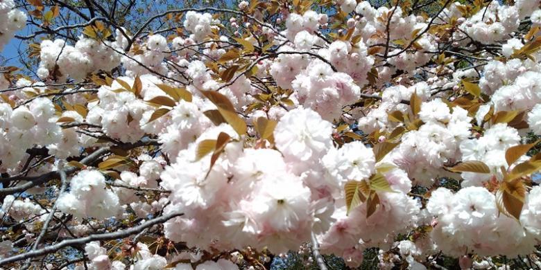 Begini Indahnya Musim Sakura Di Jepang
