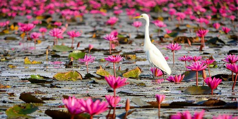 Barry Kusuma Bunga teratai di Danau Nong Han, Udon Thani.