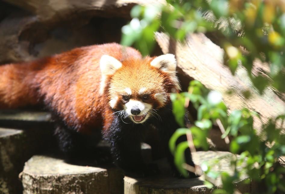 Panda Merah di Taman Safari