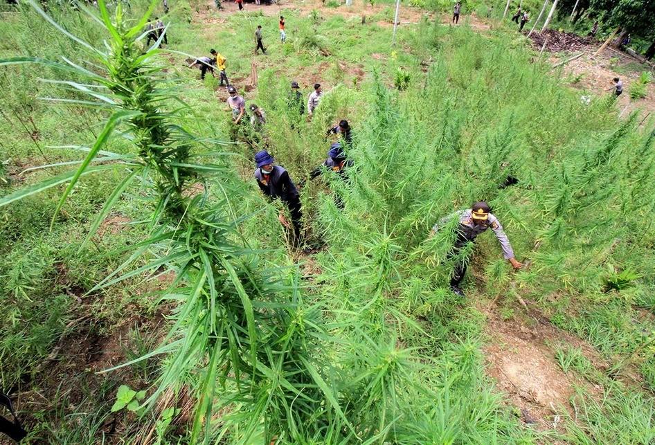 Penggerebekan 6 Hektar Ladang Ganja di Aceh