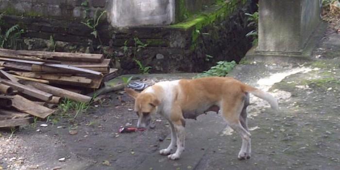 "Gubernur Bali: ""Tolonglah, Kalau Lihat Anjing Liar Dimatiin Saja"""