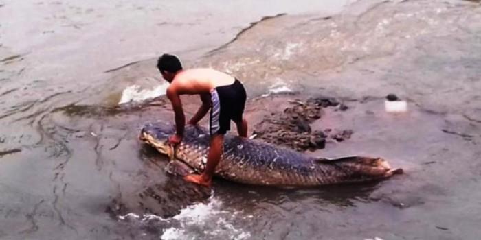 """Ikan """"Raksasa"""" Terdampar di Sungai Ciliwung Bikin Heboh"""