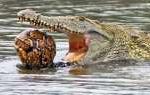 Cangkang Terlalu Keras, Buaya Gagal Kunyah Seekor Kura-kura