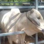 Pengusaha Pembiakan Sapi Potong Keluhkan Bea Masuk 5 Persen untuk Impor Indukan