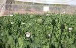 Opium Komersial Segera Ditanam Lagi di Nothern Territory