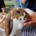 Menggemaskan, Bermain dengan Kelinci di Lucky Bunny Cafe Chiang Mai